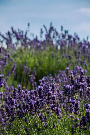 Lavender true in a field