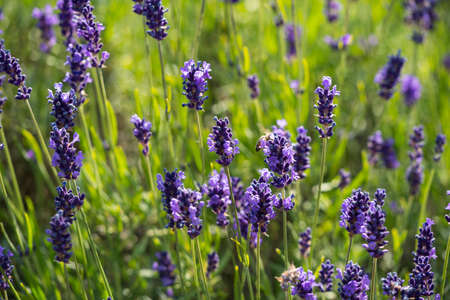 Lavender true in a field