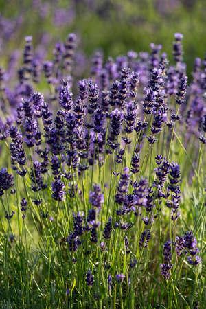 lavandula angustifolia: Lavender true in a field