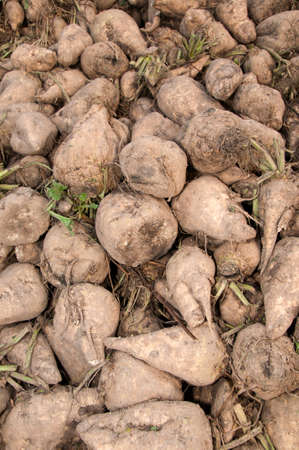 treacle: A pile of harvested sugar beets Stock Photo