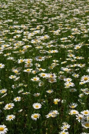 stratification: meadow full of blooming marguerites