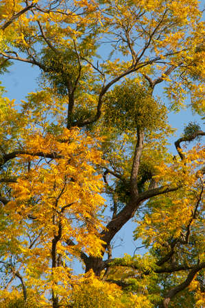 sandalwood: Mistletoes on tree with yellow leaves in autumn Stock Photo