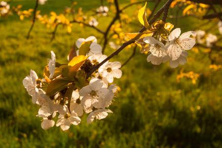 cherrytree: cherrytree blooming