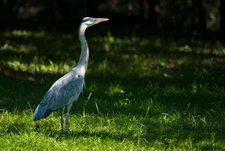 riverside: Grey heron hunting at Riverside