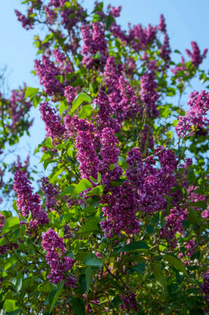 lamiales: Common Lilac blooming on a bush shrub Stock Photo