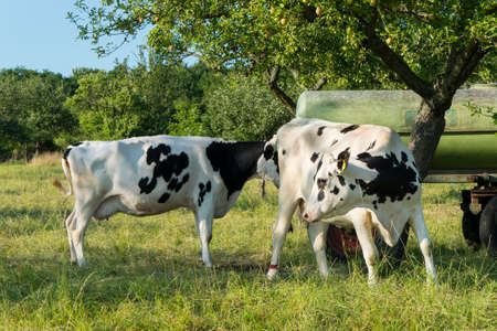 breed: Young cattle cows on a meadow ecologically sustainable farming Stock Photo