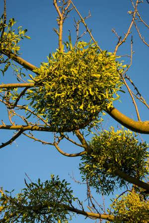 esoterismo: Muérdagos en árbol en frente de cielo azul Foto de archivo