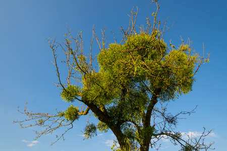 sandalwood: Mistletoes on tree in front of blue sky