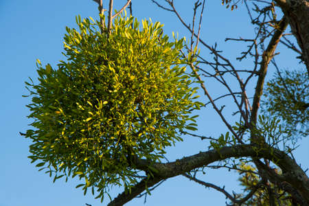 esoterism: Mistletoes on tree in front of blue sky