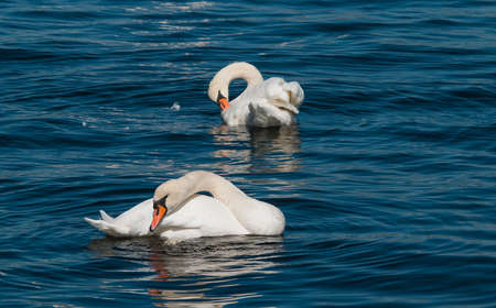 constancy: A couple of white swans swimming in a pond