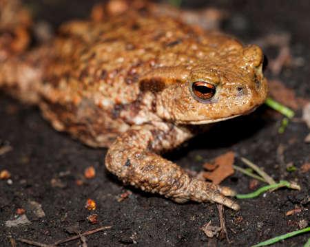 anura: common toad on the shore of a pond