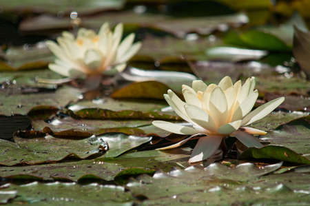 White water lilies blooming on a lake in the sunshine