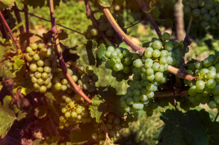 vine stock with white grapes Stock Photo