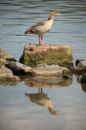 Nile goose stood at a rock at riversde Stok Fotoğraf