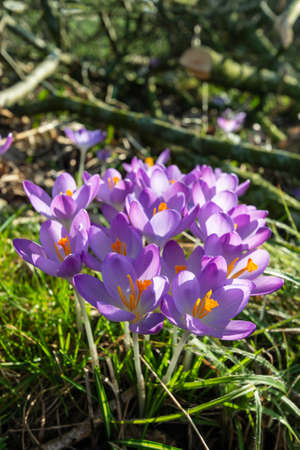 early crocus with violet blossom Imagens