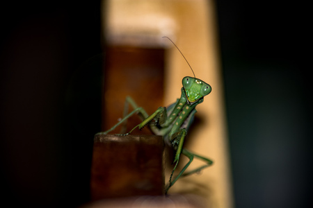mantid: funny mantis Stock Photo