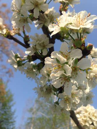 cherrytree: springtime white flowers