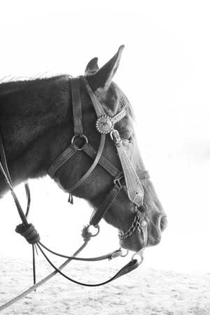 chew over: horse  black and white Stock Photo