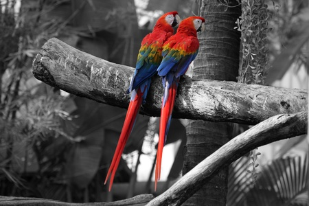 life partner: Parrots have longest love life with a single partner... Stock Photo