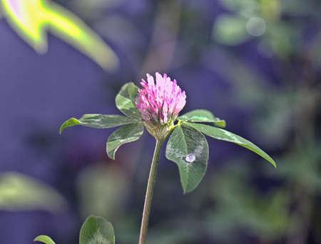 kropla deszczu: purple flower with raindrop