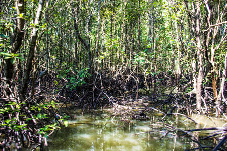 mangrove forest: Mangrove Forest and the River Stock Photo
