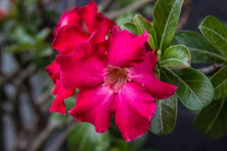desert rose: The beautiful Desert Rose