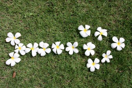 leelawadee: Leelawadee flower Stock Photo