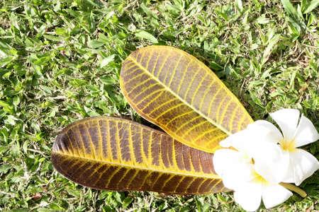 leelawadee: leelawadee flower and Leaves