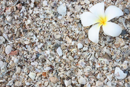 leelawadee: white leelawadee on the beach with sea shell