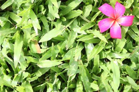 leelawadee: red leelawadee on the Grass Stock Photo