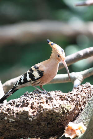 Upupa epops  Common Hoopoe  photo