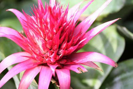 aechmea: Pink and blue exotic flower - Aechmea ramosa