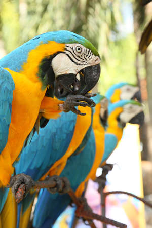 ararauna: macaw bird sitting on the perch Stock Photo