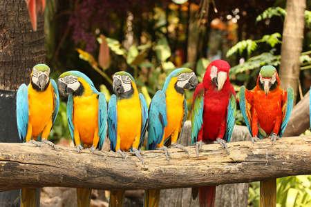 コンゴウインコ鳥の止まり木にとまって