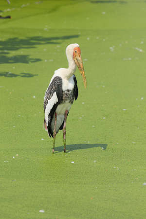 painted stork washing in lake Stock Photo - 20370203