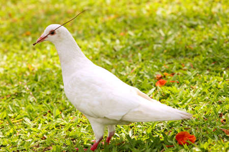 beak pigeon: White Pigeon are collecting twigs to the nest on grass