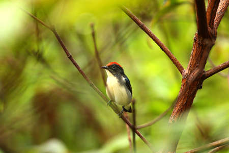thryothorus: Warbler red head  on the tree