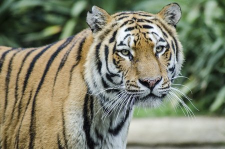 behold: CUMIANA- TURIN, ITALY-AUGUST 12, 2014: The Royal Bengala Tiger portrait in ZOOM Bio park a new zoological park in Cumiana, Italy