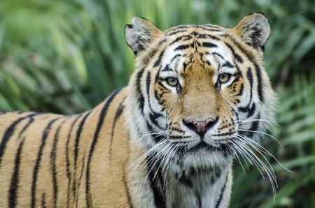 hippopotamus: CUMIANA- TURÍN, ITALIA-12 de agosto de 2014: El retrato del tigre de Bengala real en el parque ZOOM Bio un nuevo parque zoológico en Cumiana, Italia Editorial