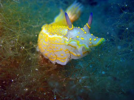Nudibranchs in the mediterranean sea  photo