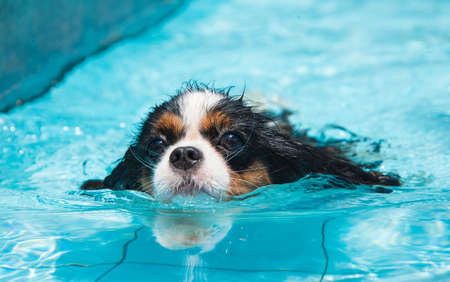 Cavalier king charles spaniel swimming