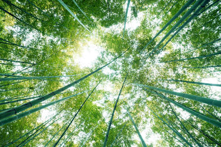 climate morning: bamboo forest with morning sunlight Stock Photo