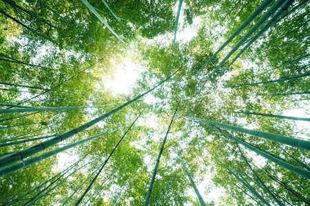 for�t de bambous avec soleil du matin