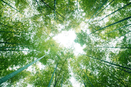 serenity: bamboo forest with morning sunlight Stock Photo
