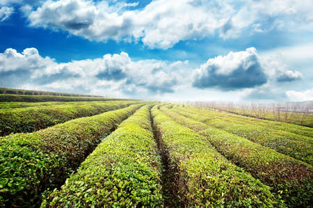Beautiful pattern of bright, green tea garden on the hill photo