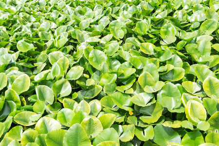 hydrophyte: Eichhornia crassipes is commonly known as water hyacinth and It is an aquatic plant Stock Photo