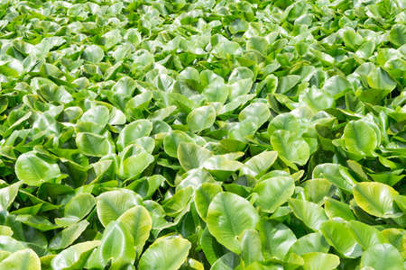 Eichhornia crassipes is commonly known as water hyacinth and It is an aquatic plant Stock fotó