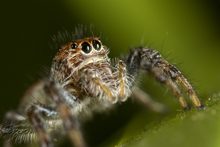 brown and orange jumping spider on green leaf Stock Photo