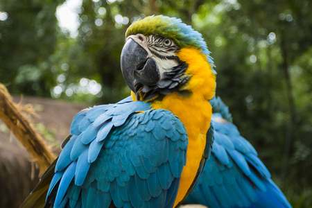 blue and yellow macaw portrait in a brazilian park
