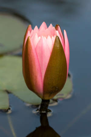 pink and green water lily flower bud - nymphaea Stock Photo